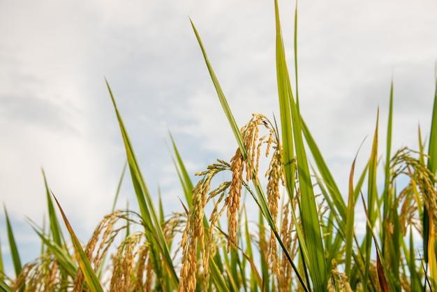 Levendig fris helder van de gouden rijst in het veld is dichtbij om mee te oogsten.
