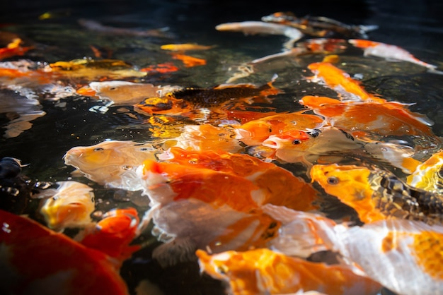 Levendige en kleurrijke japanse karpervissen in een mooie koivijver in een tuin. levendige chinese fancy carp-vissen die vrolijk in het heldere water zwemmen.