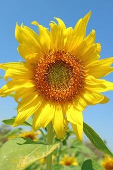 Levendige gele bloeiende zonnebloem met blauwe zonnige hemel