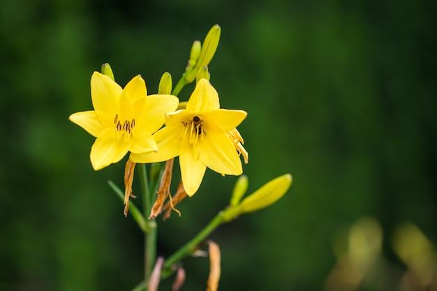 Levendige gele lelies in de tuin.