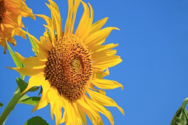 Levendige gele zonnebloem tegen levendige blauwe hemel met vrije ruimte voor tekst of ontwerp