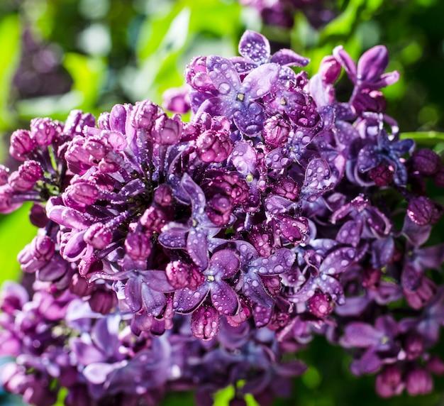 Levendige paarse lila bloeit in de lentetuin in mei.
