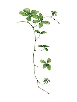 Liana tak met bladeren aquarel geschilderd op wit groene klimop klimop