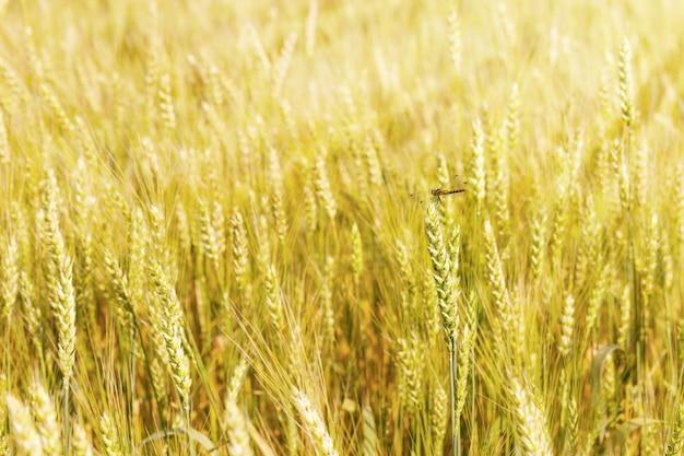 Libel dichte omhooggaand op een aartje van tarwe in de stralen van de de zomerzon. zon schijnt op tarwe.