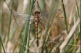 Libelle, close-up, insecten, geel