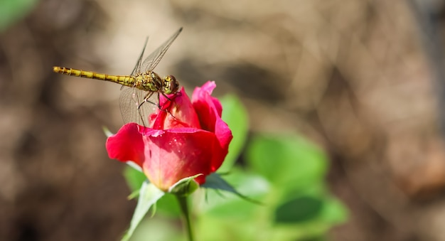 Libelle op een rode bloemroos in zonnige tuin