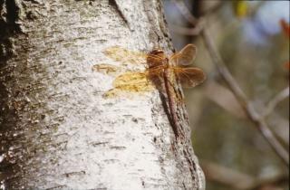Libelle, oranje, insecten
