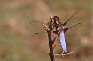 Libelle, vliegen, insecten