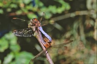 Libelle, vliegen