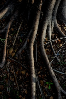 Licht en schaduw van banyan boom wortels op het bos grond voor de natuur achtergrond
