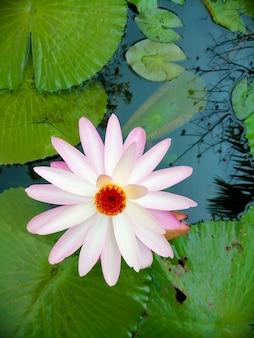 Licht roze lotus in de vijver.