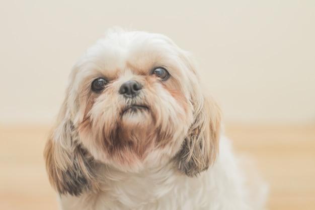 Lichtbruine hond van het ras mal-shih voor een witte muur