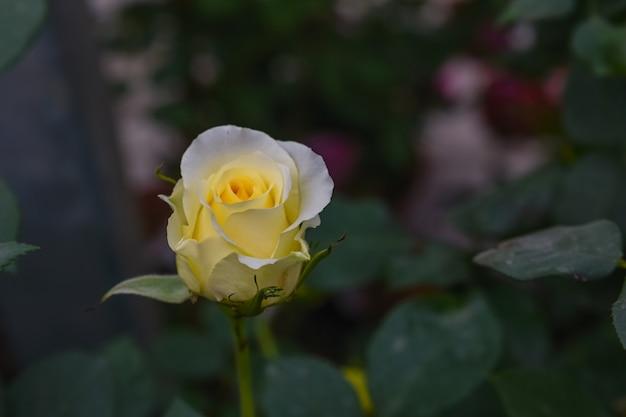 Lichtgele en witte rozen in een donkere omgeving