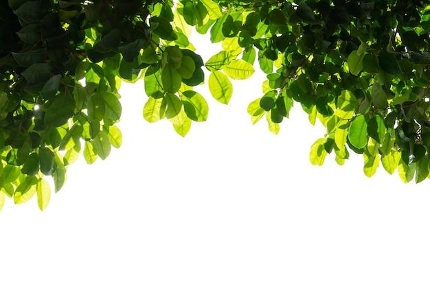 Lichtgroene bladeren geïsoleerd op een witte achtergrond.