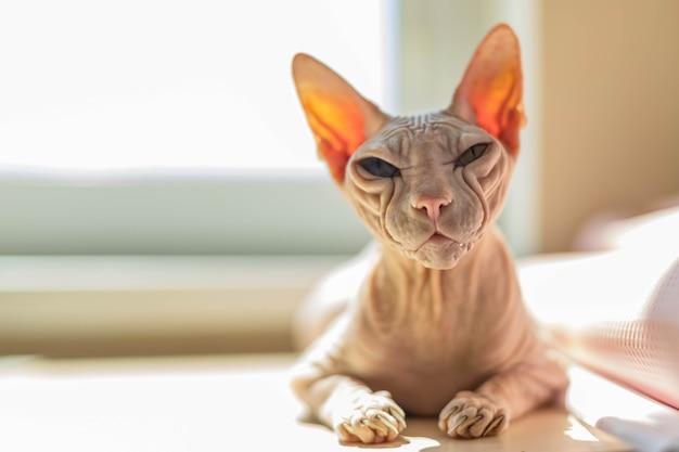 Lichtroze gekleurde don sphynx kat