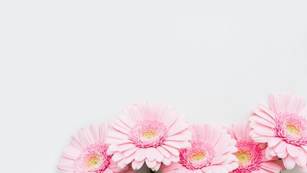 Lichtroze gerbera madeliefjebloemen op grijze achtergrond