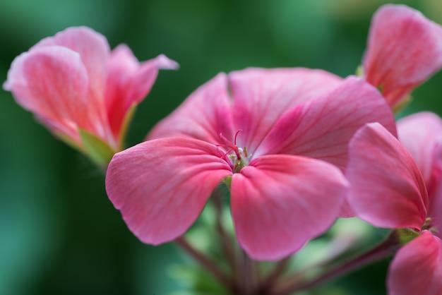 Lichtroze kleur van bloemblaadjes pelargonium zonale willd. close-up van prachtige plant, waardoor een aangenaam gevoel ontstaat bij het bekijken van foto's.