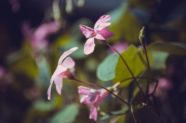 Lichtroze oxalis bloemen