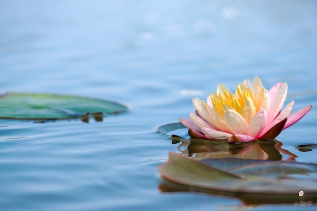 Lichtroze van waterlelie of lotusbloem met geel stuifmeel op oppervlakte van water in vijver.