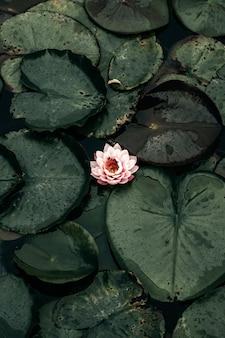 Lichtroze waterlelie omringd door stootkussens op meer. nymphaea tetragona bloem