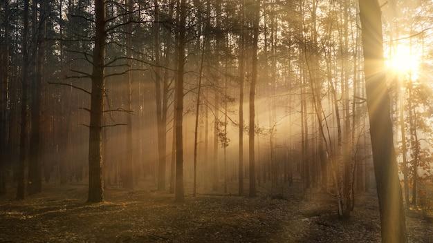 Lichtstralen schijnen door de dikke kruinen van bomen