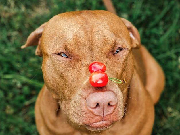 Lief, mooi puppy van bruine kleur. sluit omhoog, buitenshuis. dag licht. concept van zorg, onderwijs, gehoorzaamheidstraining en het opvoeden van huisdieren