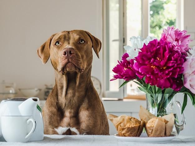 Lief, mooi puppy van chocoladekleur en jonge vrouw. close-up, binnen. dag licht. concept van zorg, onderwijs, gehoorzaamheidstraining, huisdieren opvoeden