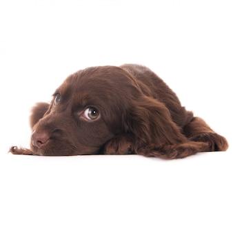 Liegen cocker spaniel puppy hondje