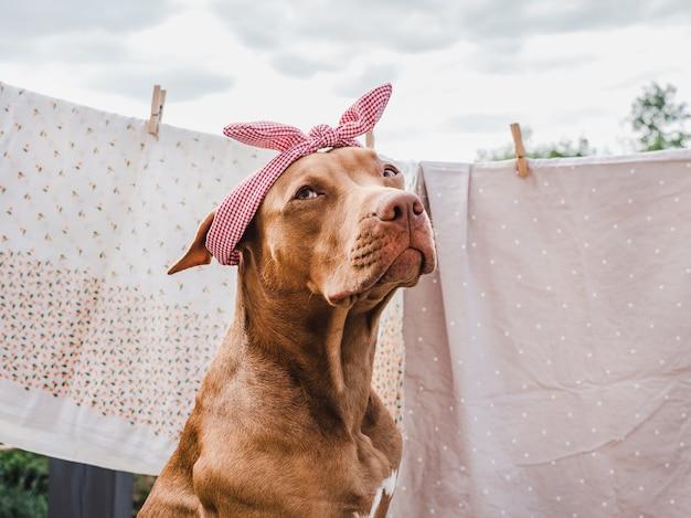 Lieve, mooie puppy van chocoladekleur. close-up, buiten. concept van zorg, onderwijs, gehoorzaamheidstraining, het grootbrengen van huisdieren