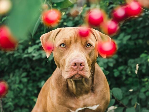 Lieve, mooie puppy van chocoladekleur. close-up, buiten. dag licht. concept van zorg, onderwijs, gehoorzaamheidstraining, het grootbrengen van huisdieren