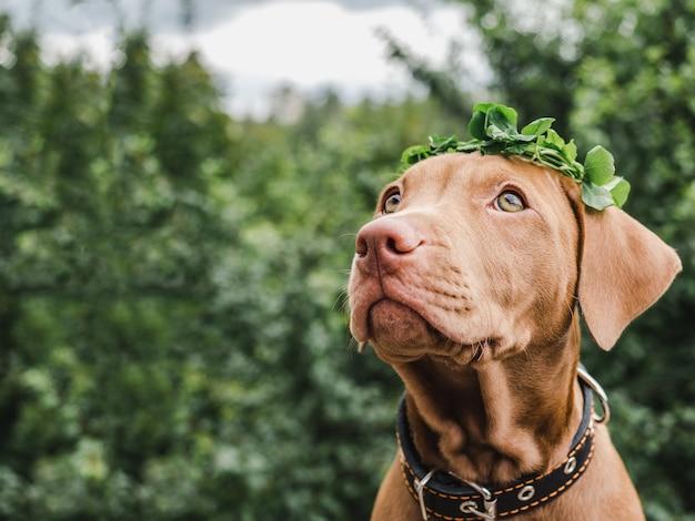 Lieve, mooie puppy van chocoladekleur. close-up, buiten. daglicht. concept van zorg, onderwijs, gehoorzaamheidstraining, het grootbrengen van huisdieren