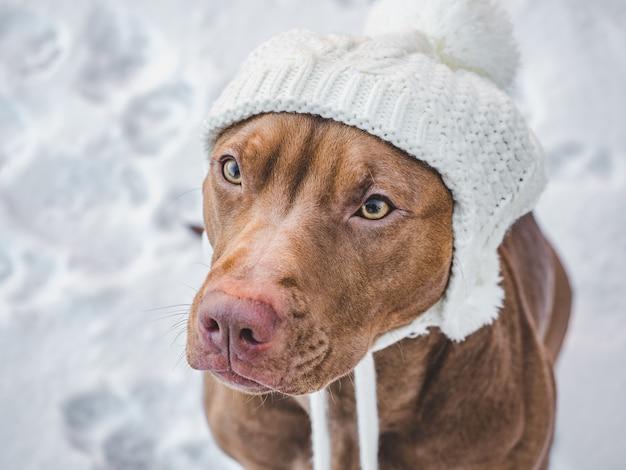Lieve, mooie puppy van chocoladekleur. close-up, buiten.