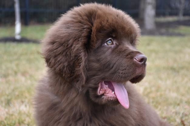 Lieve newfie puppyhond, steek je tong uit en zeg ahh
