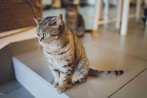 Lieve scottish fold kat kat ligt op de houten vloer. portret van een heel grappige pluizige kat.
