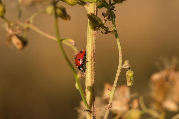 Lieveheersbeestje aan de boom is geclassificeerd als een ongewervelde scarabee