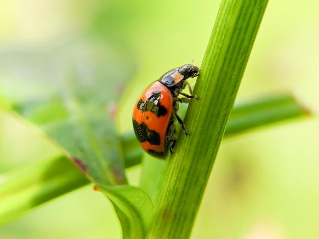 Lieveheersbeestje close-up met de natuur, lieveheersbeestje met groen blad met poten