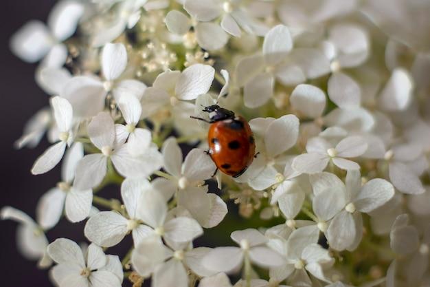 Lieveheersbeestje en witte bloemen. detailopname. natuurlijk concept