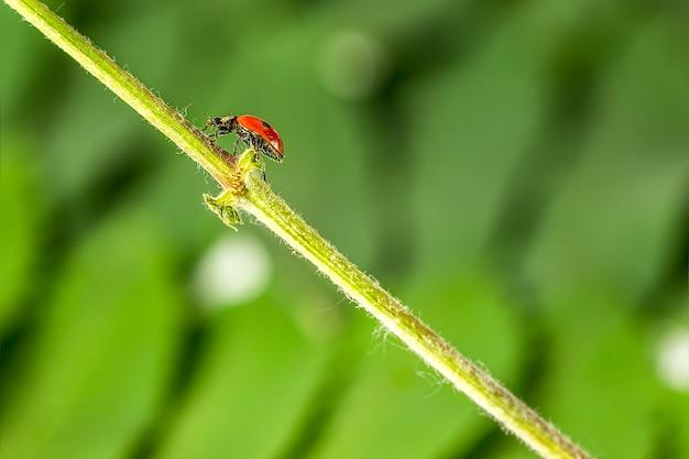 Lieveheersbeestje in het gras in de natuur