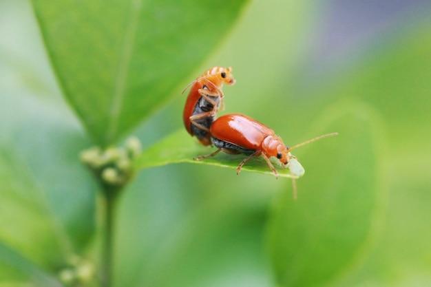 Lieveheersbeestje insecten zijn fokken