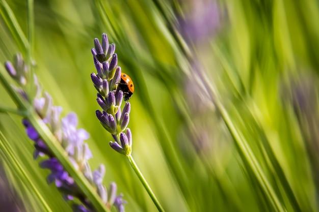 Lieveheersbeestje met zeven vlekken op lavendel in de tuin