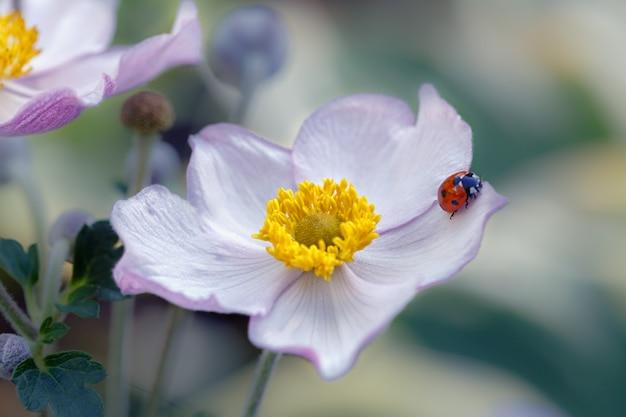 Lieveheersbeestje op bloemblaadje van japanse anemoon.