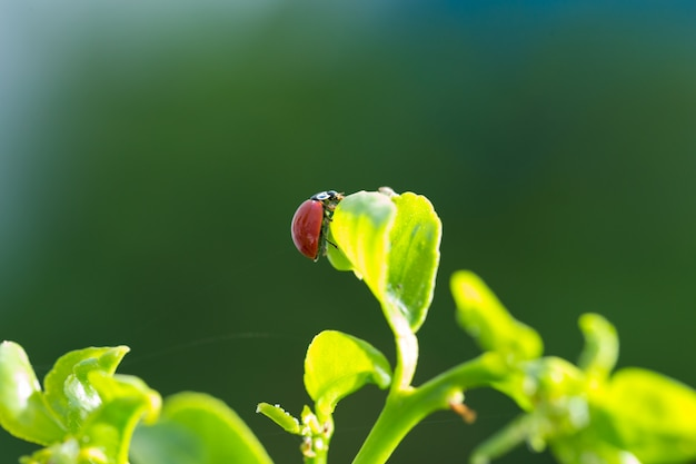 Lieveheersbeestje op dichte omhooggaand van het citroenboomblad