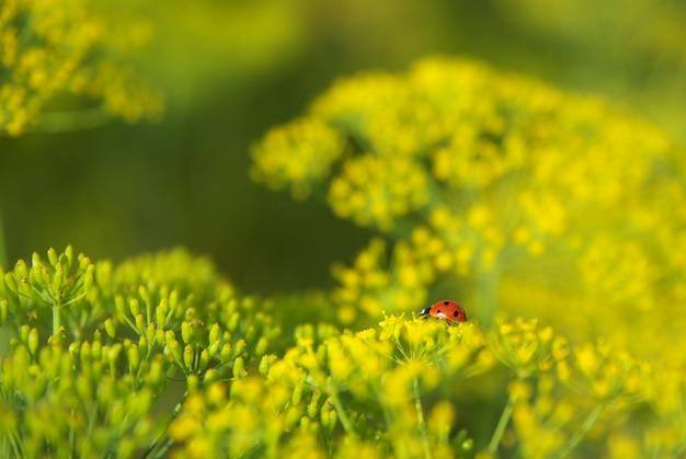 Lieveheersbeestje op dille