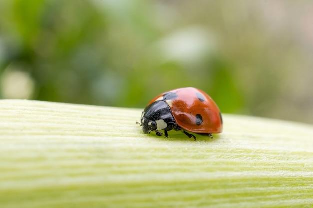 Lieveheersbeestje op een blad van maïs