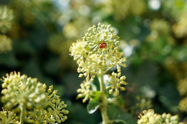 Lieveheersbeestje op een tak van engelwortel