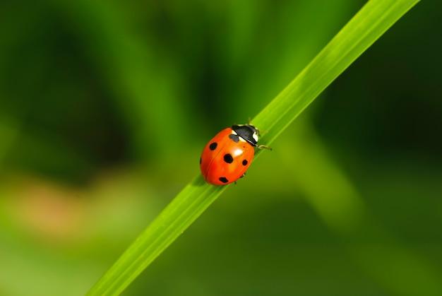 Lieveheersbeestje op groen sprietje gras close-up