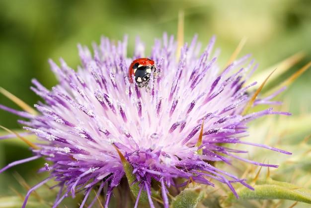 Lieveheersbeestje op mooie bloem ptilostemon niveus. madonie, sicilië