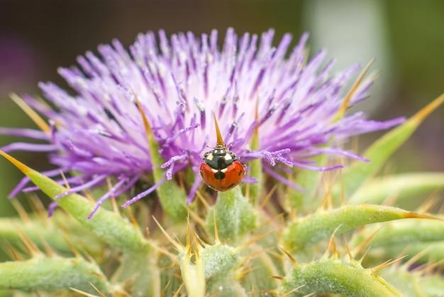 Lieveheersbeestje op mooie bloem ptilostemon niveus