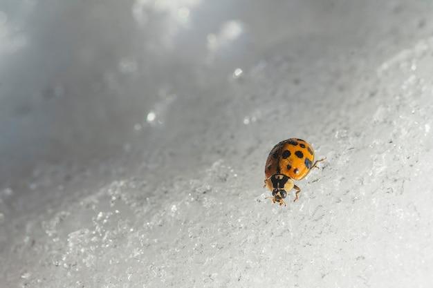 Lieveheersbeestje op witte sneeuw in de winter, close-up