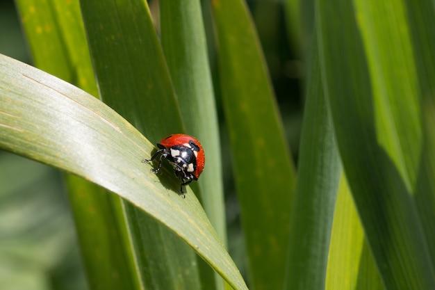 Lieveheersbeestje zittend op een groen blad achter vele anderen